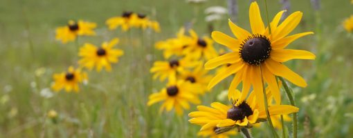 Native yellow sunflowers in a field