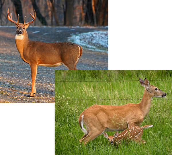 Male deer with antlers and females deer with fawn