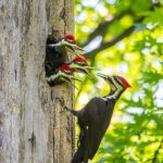 Pileated woodpecker feeding three baby birds