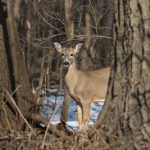 Deer peering through the trees