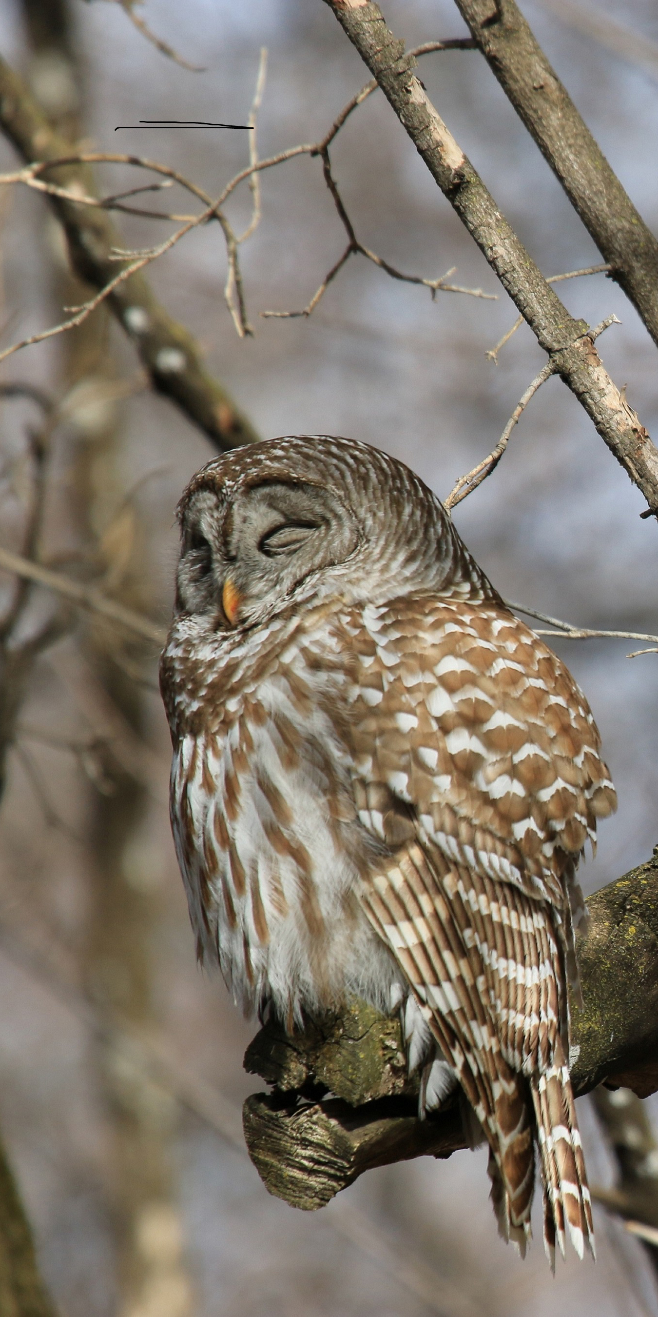 Barred Owl with closed eyes on tree limb