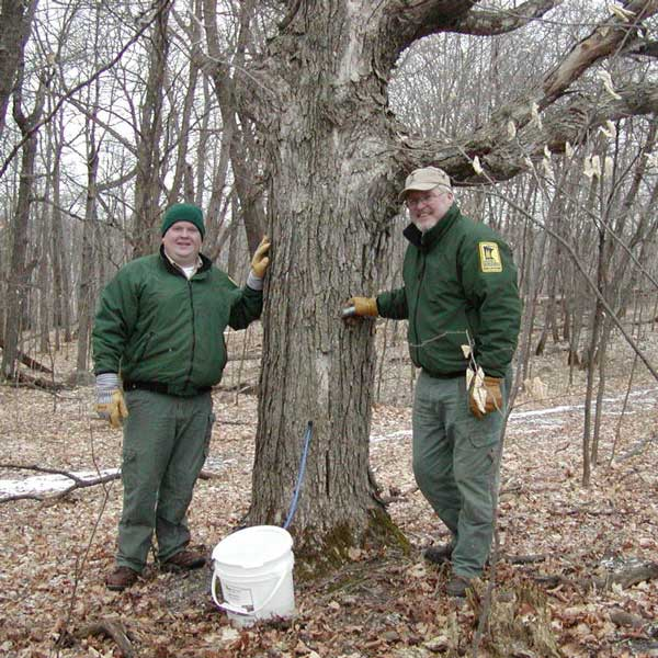 DNR staff collecting maple sap