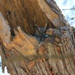 Great Horned Owl sitting on a nest