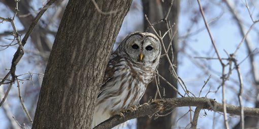 Barred owl in tree