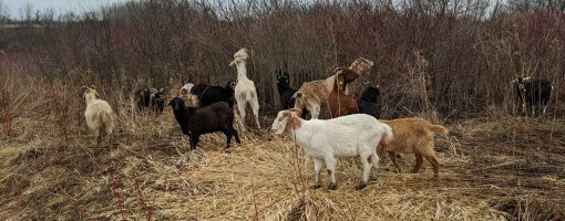 Goats roaming at the park