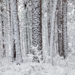 trees tunks blanketed in snow
