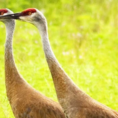 Sandhill cranes in the park