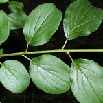 buckthorn leaves