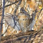 Maplewood State Park Grouse