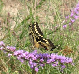 Swallowtail butterfly on a flower