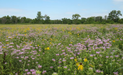 Field in bloom with wildflowers