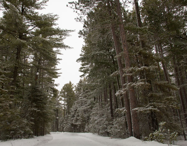 snowy pine tree road
