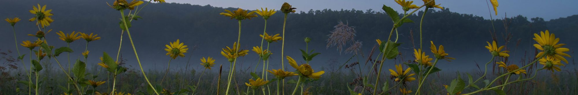 Misty sunflowers at Forestville-Mystery Cave State Park