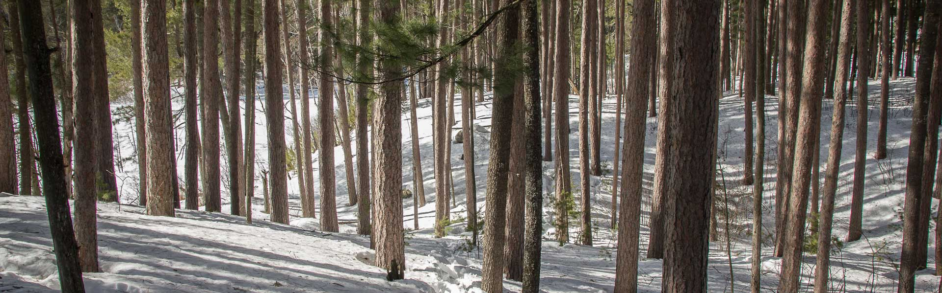 Snowy pines by Brett Whaley via Flickr CC