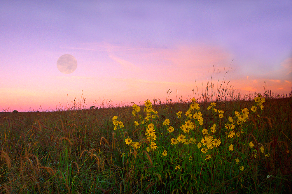 moon at sunset with sunflowers