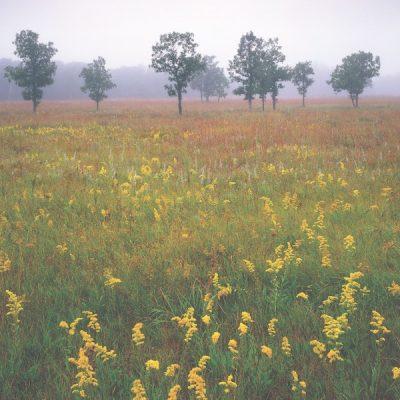 Goldenrod, Sage, Prairie Grasses and Oak trees shrouded by fog, aspen parklands, Lake Bronson State Park, Minnesota