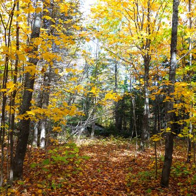 Fall forest with bright yellow leaves on trees