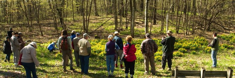 people looking at a marsh marigold patch