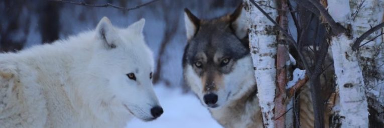 Two wolves in the winter snow