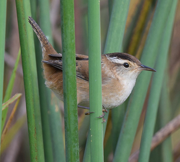 small brown and white bird perched on reed