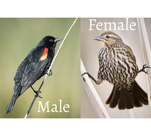 Bird - Red Winged Blackbirds