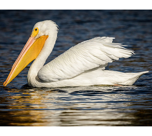 Large white bird with huge yellow bill floating on water