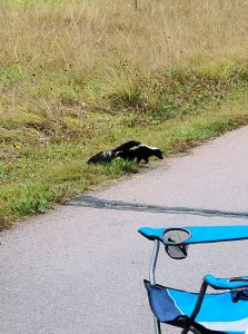 skunk walks by paved path