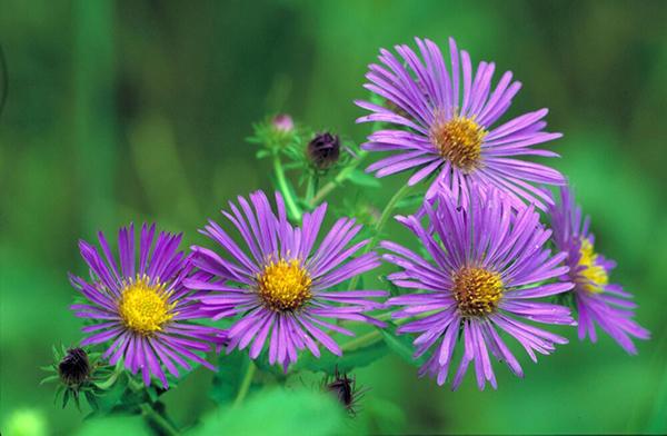 Flower - Aster