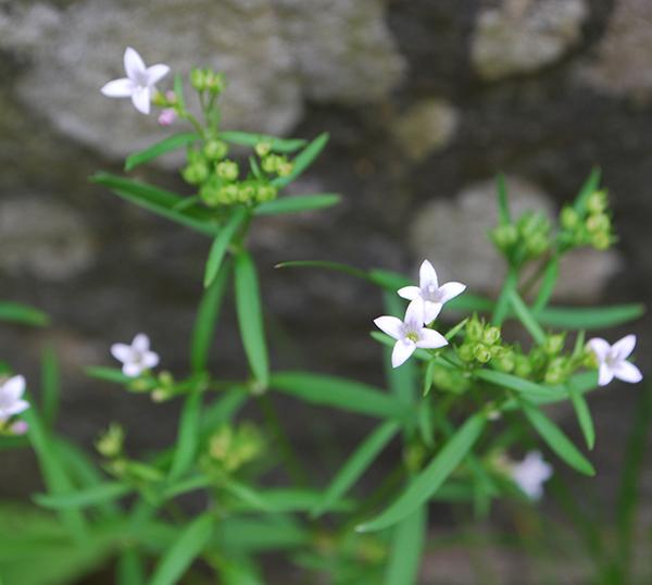 Delicate white-purple flower