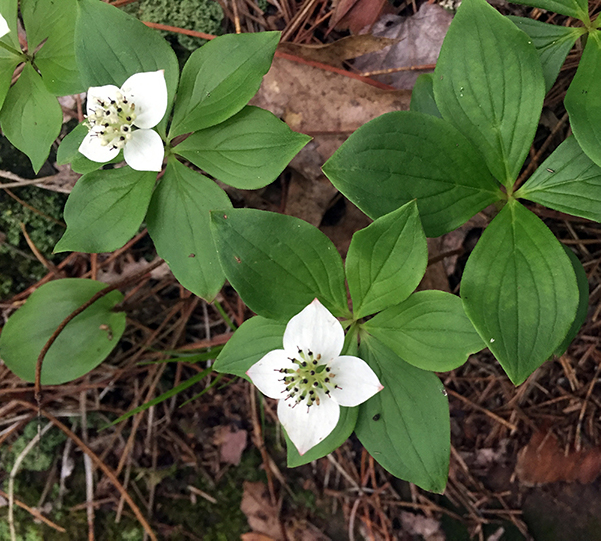 Flower - Bunchberry