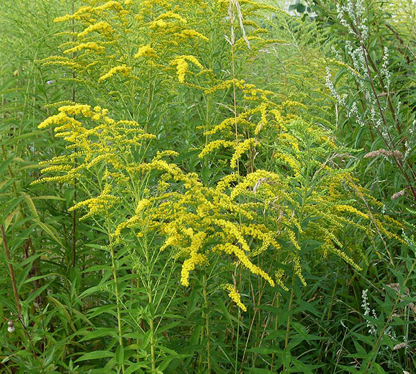 Flower - Goldenrod