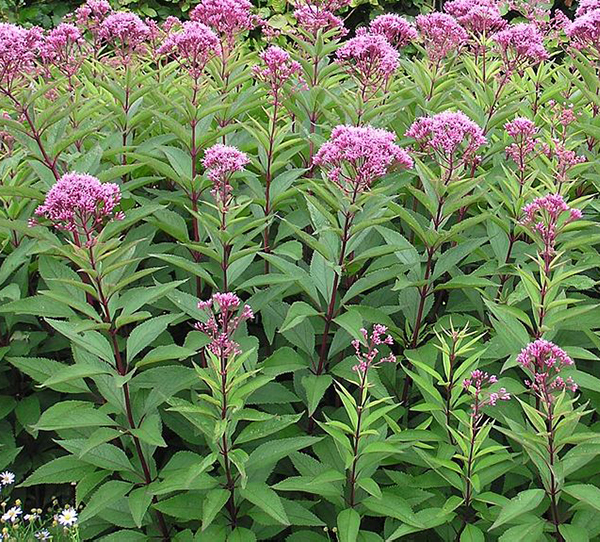 Flower - Joe Pye Weed