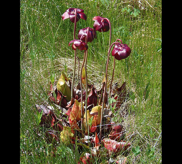 Flower - Pitcher Plant