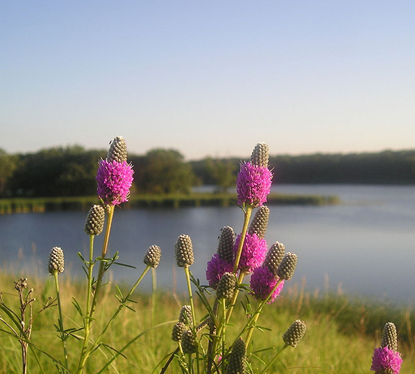 Flower - Purple Prairie Clover