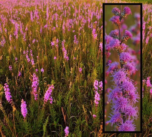 Pink flower on tall stalks