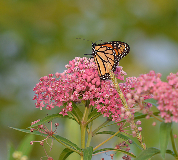 Flower - Swamp Milkweed