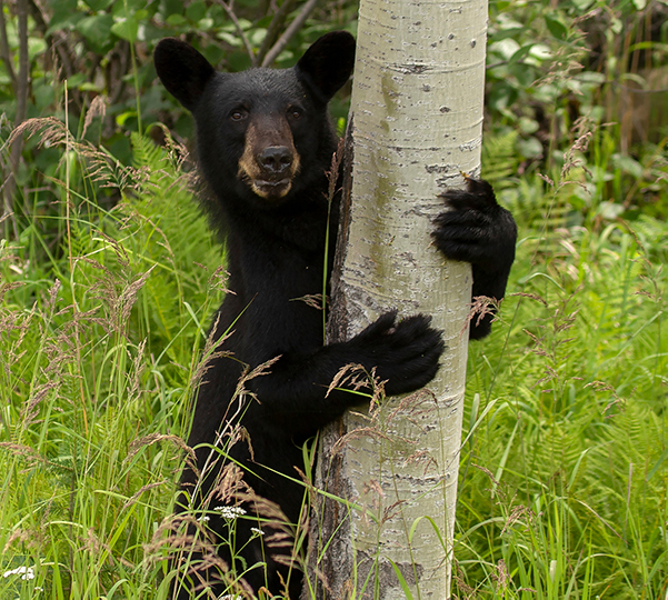 Mammal - Black Bear hugging tree trunk