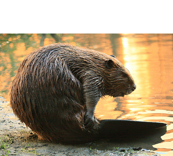 Mammal - Beaver grooming its tail