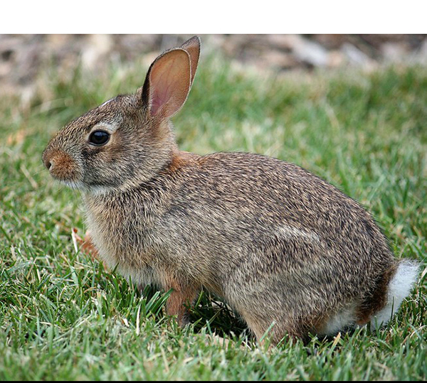 Mammal - Cottontail Rabbit in grass
