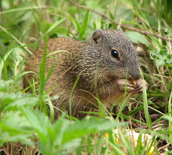 Ground squirrel on ground, eating something