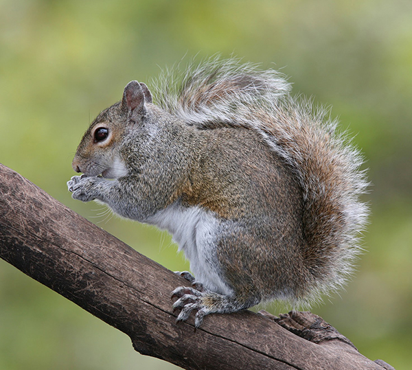 Mammal - Gray Squirrel on limb