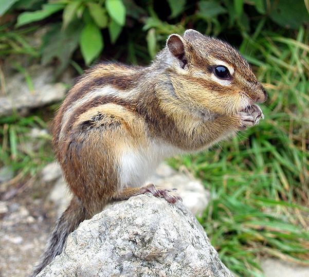 Mammal - chipmunk on rock eating