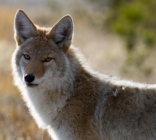 Coyote looking toward camera