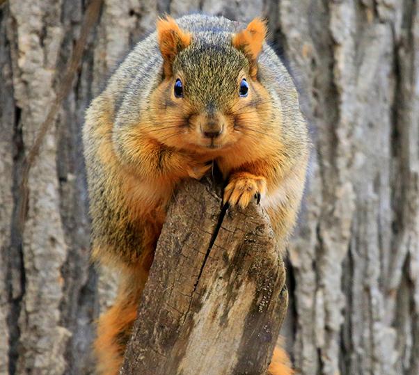 reddish squirrel looking at camera from tree