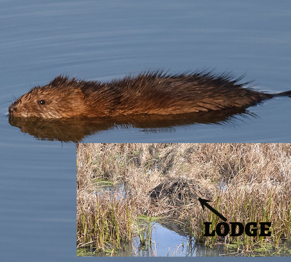 Muskrat swimming in lake plus inset of its home, a mound of cattails
