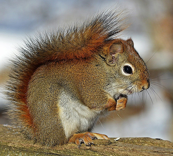 Mammal- Red squirrel