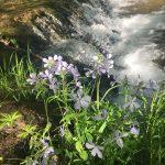 purple flowers by river