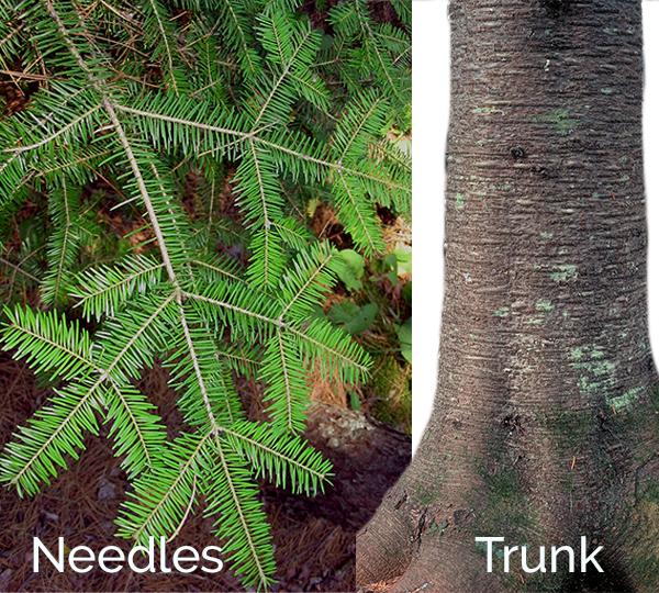 balsam fir branch and trunk