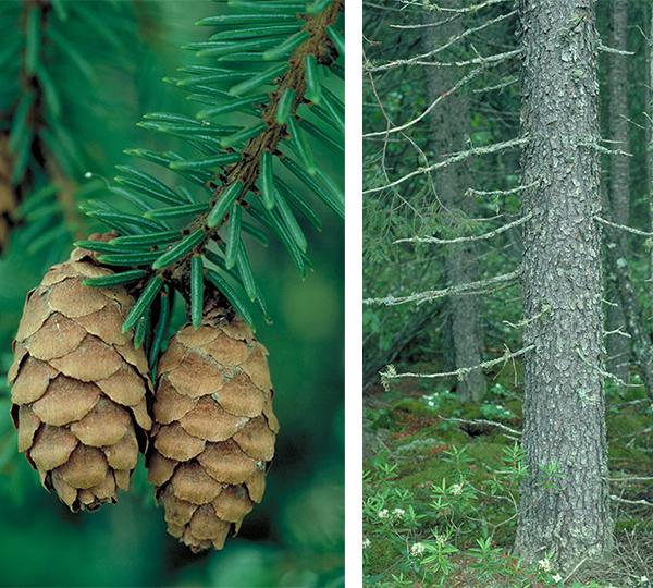 Tree - Black Spruce