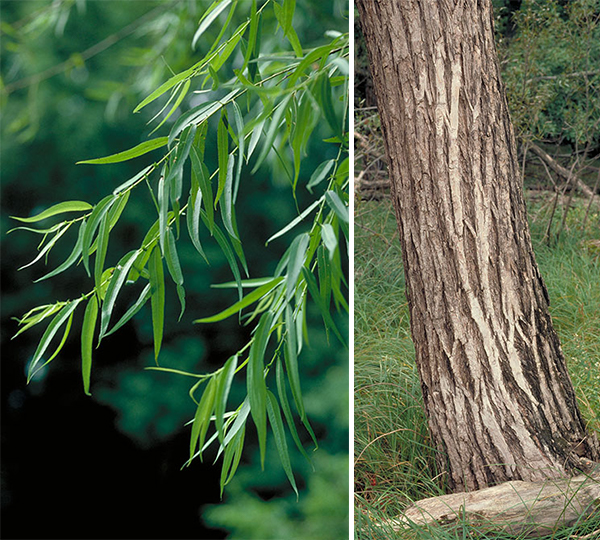 Tree - Black Willow
